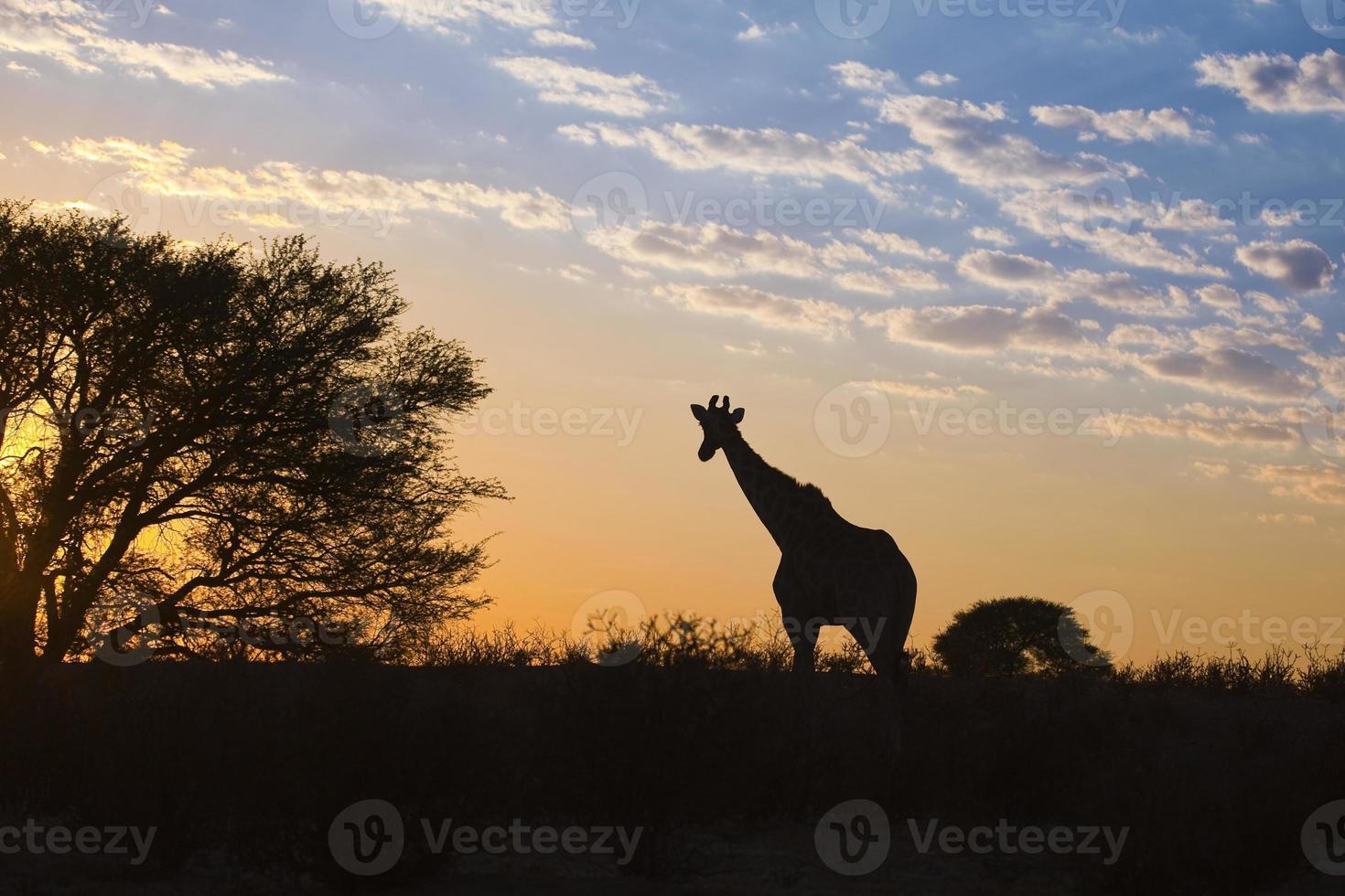 girraffe aftekenen tegen zonsopganghemel foto