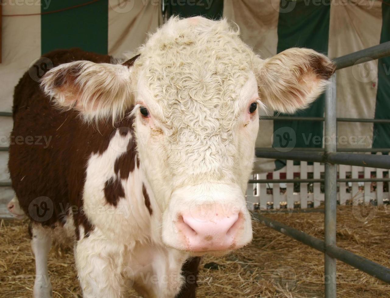 schattige koe foto