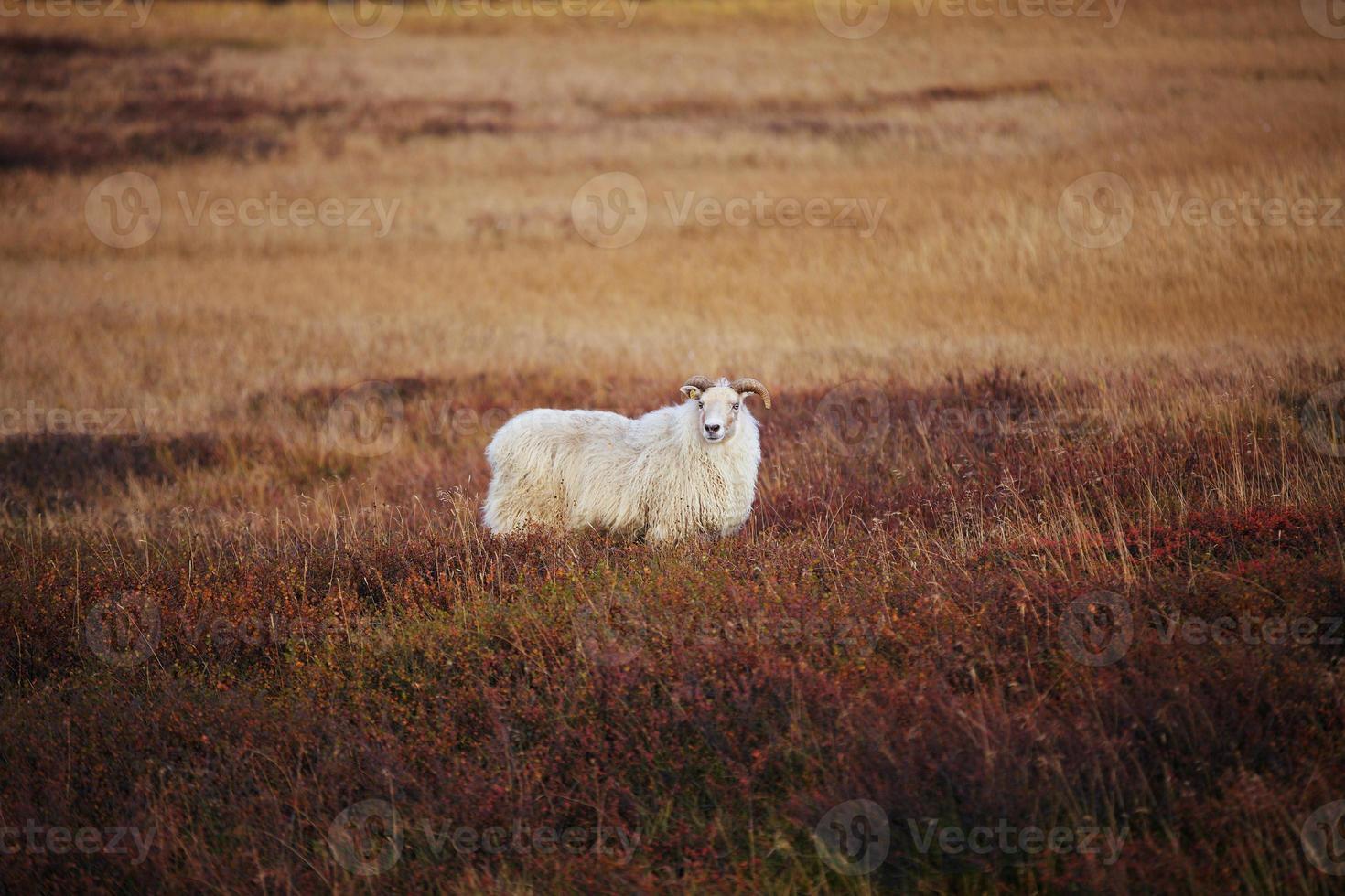 ijslandse schapen foto