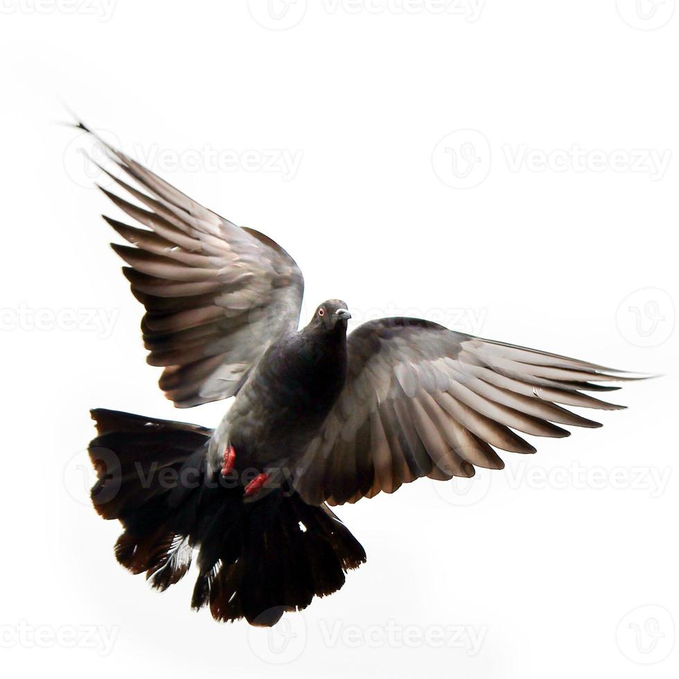 vliegende duif foto
