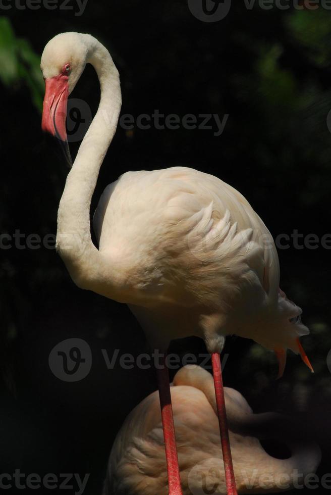 detail het hoofd van een roze flamingo foto