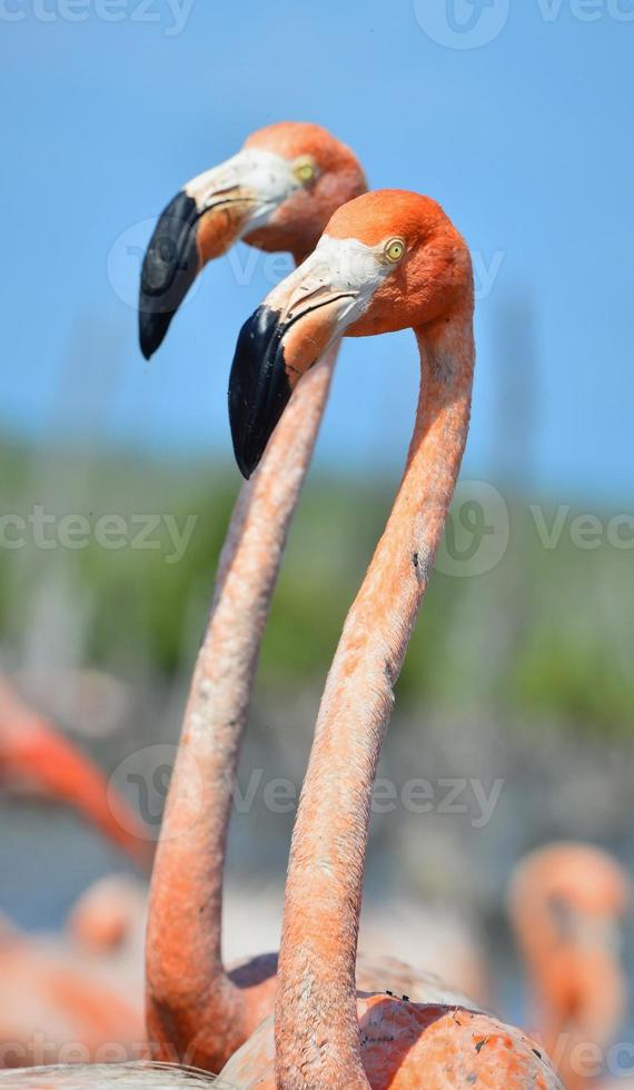 Amerikaanse flamingo. foto