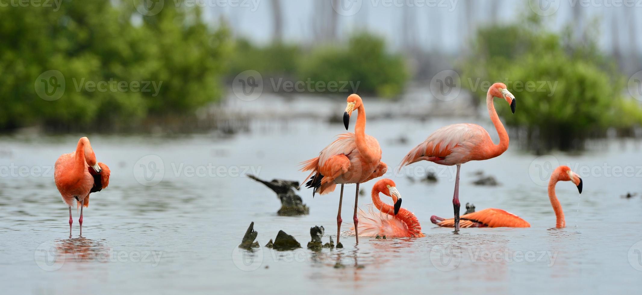 Caribische flamingo's (Phoenicopterus ruber) foto