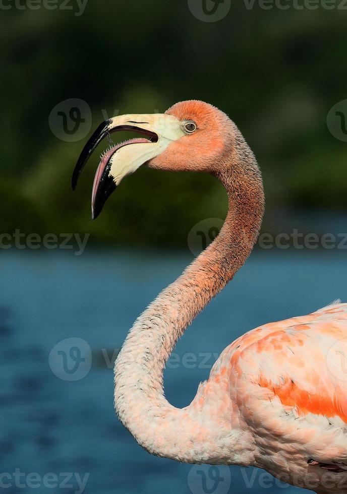 de Amerikaanse flamingo (phoenicopterus ruber) foto