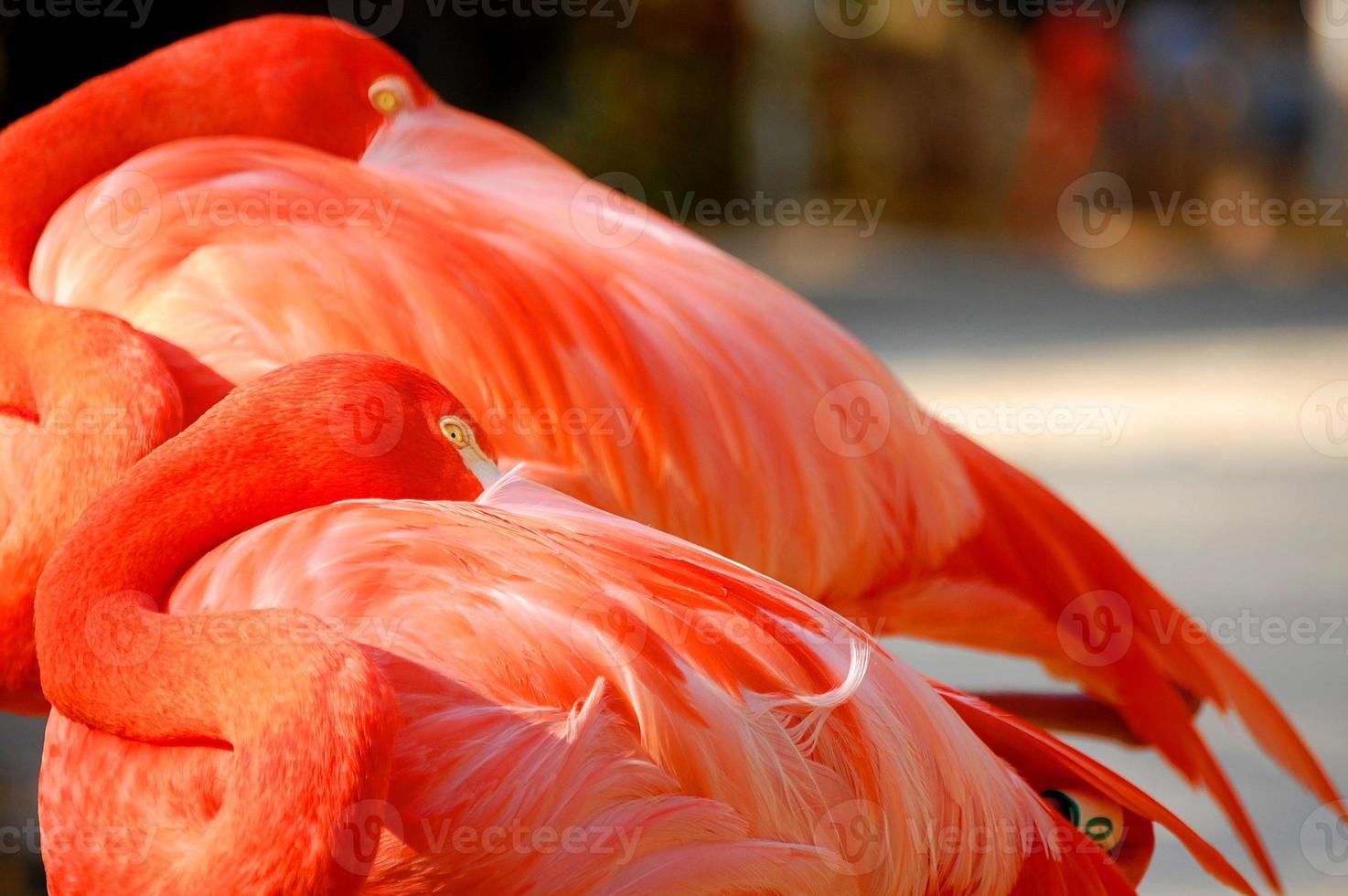 roze flamingo rusten foto