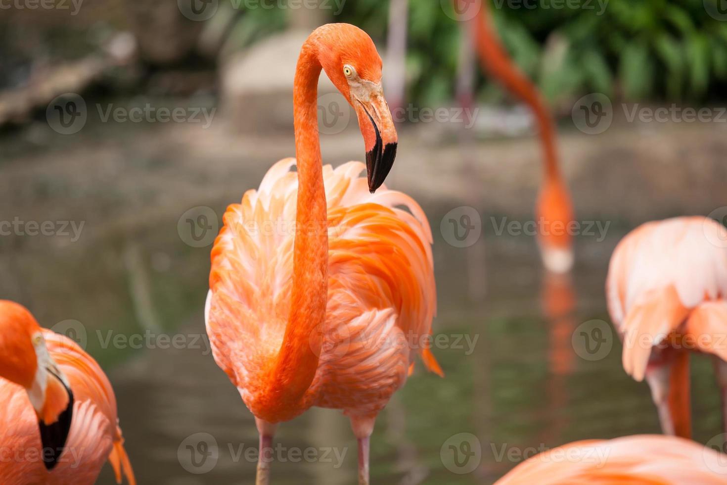 close up wilde leven roze Caribische flamingo foto