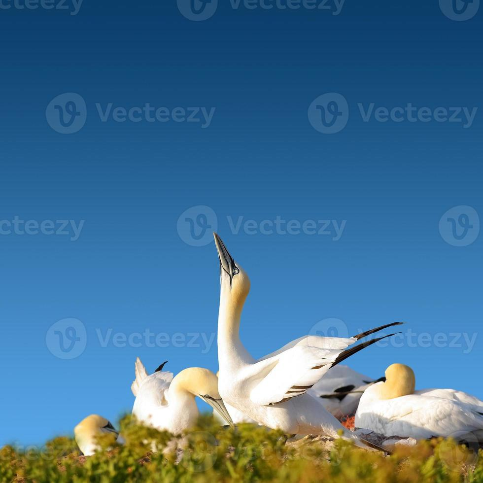 familie van jan-van-gent in blauwe hemel, Duitsland foto