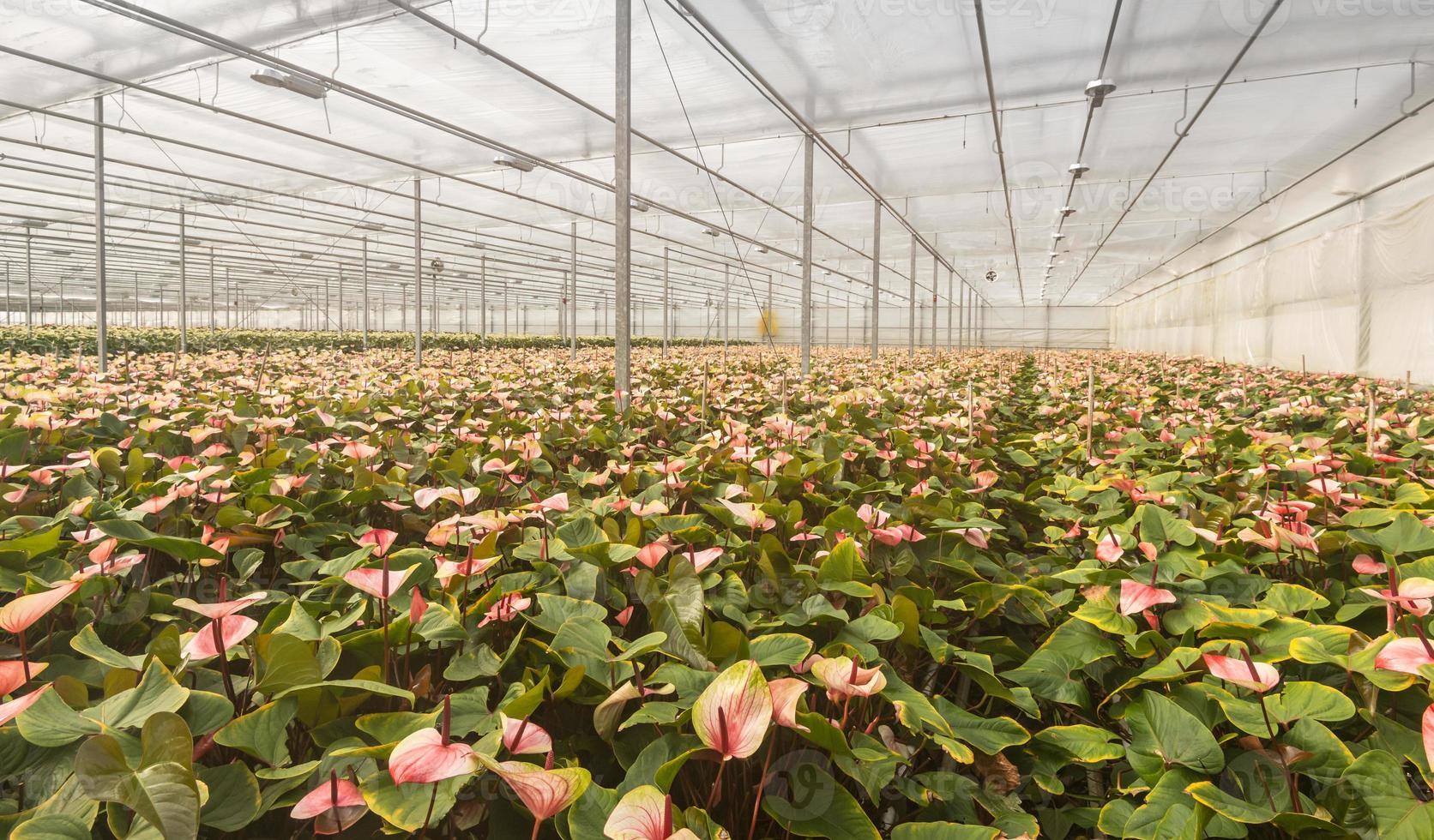 flamingo bloemplanten in een nederlandse bloemenkwekerij foto