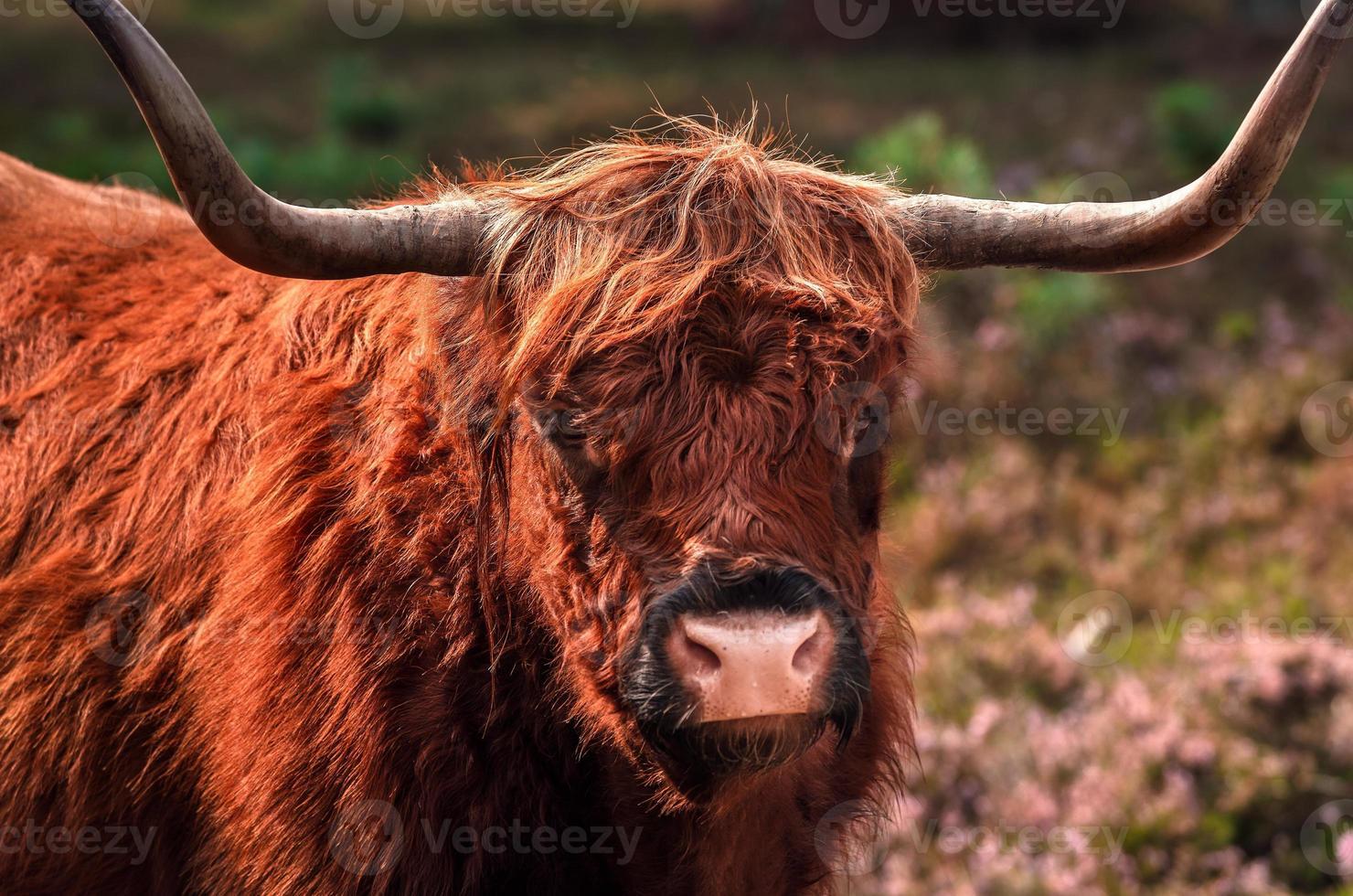 hoogland koe foto