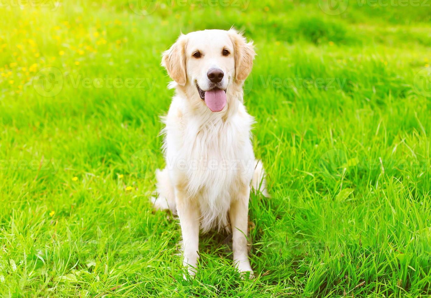gelukkig golden retriever hond zittend op het groene gras zomer foto