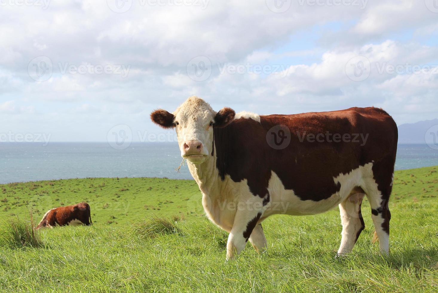 hereford vleeskoe foto