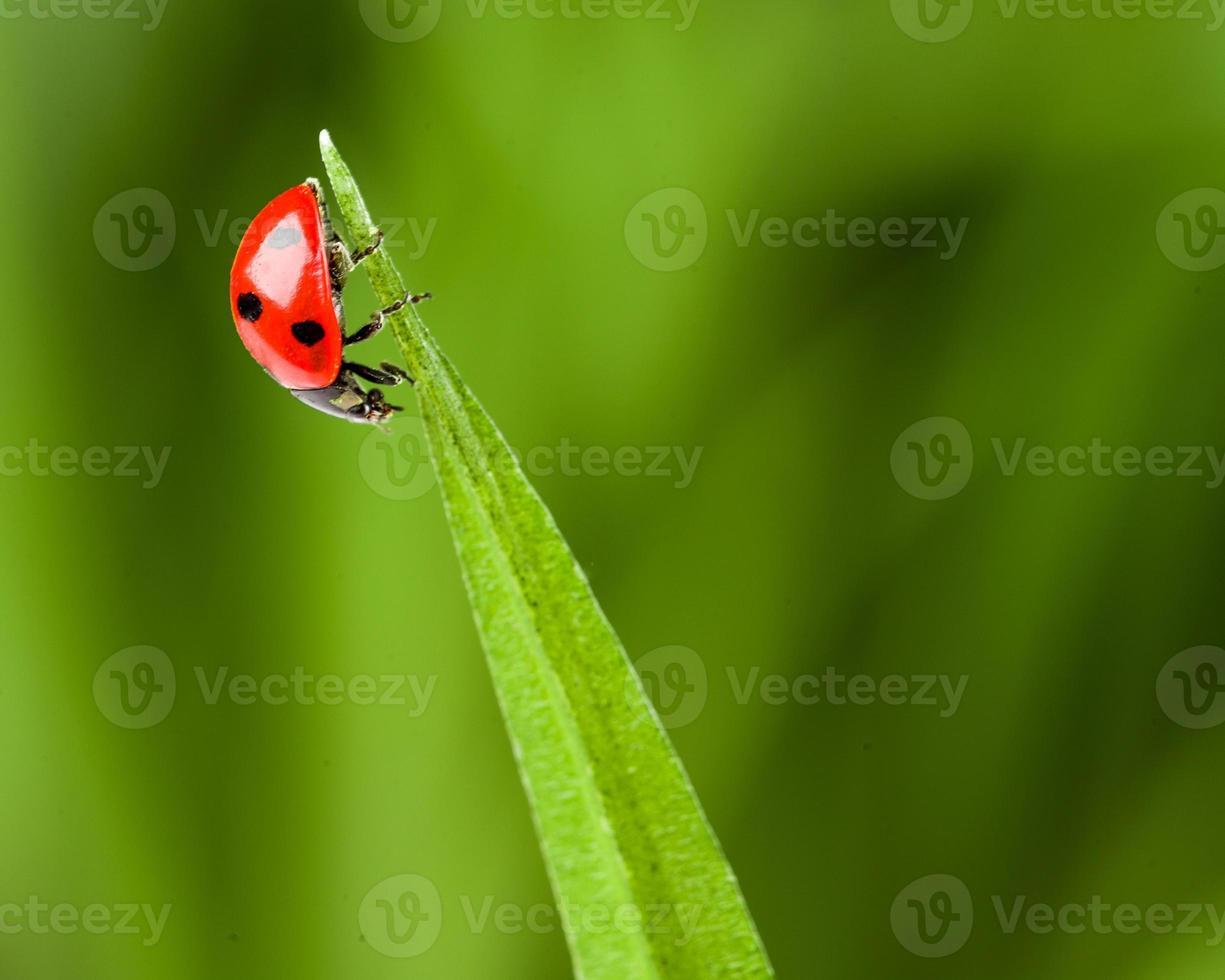 rood lieveheersbeestje op groen gras foto