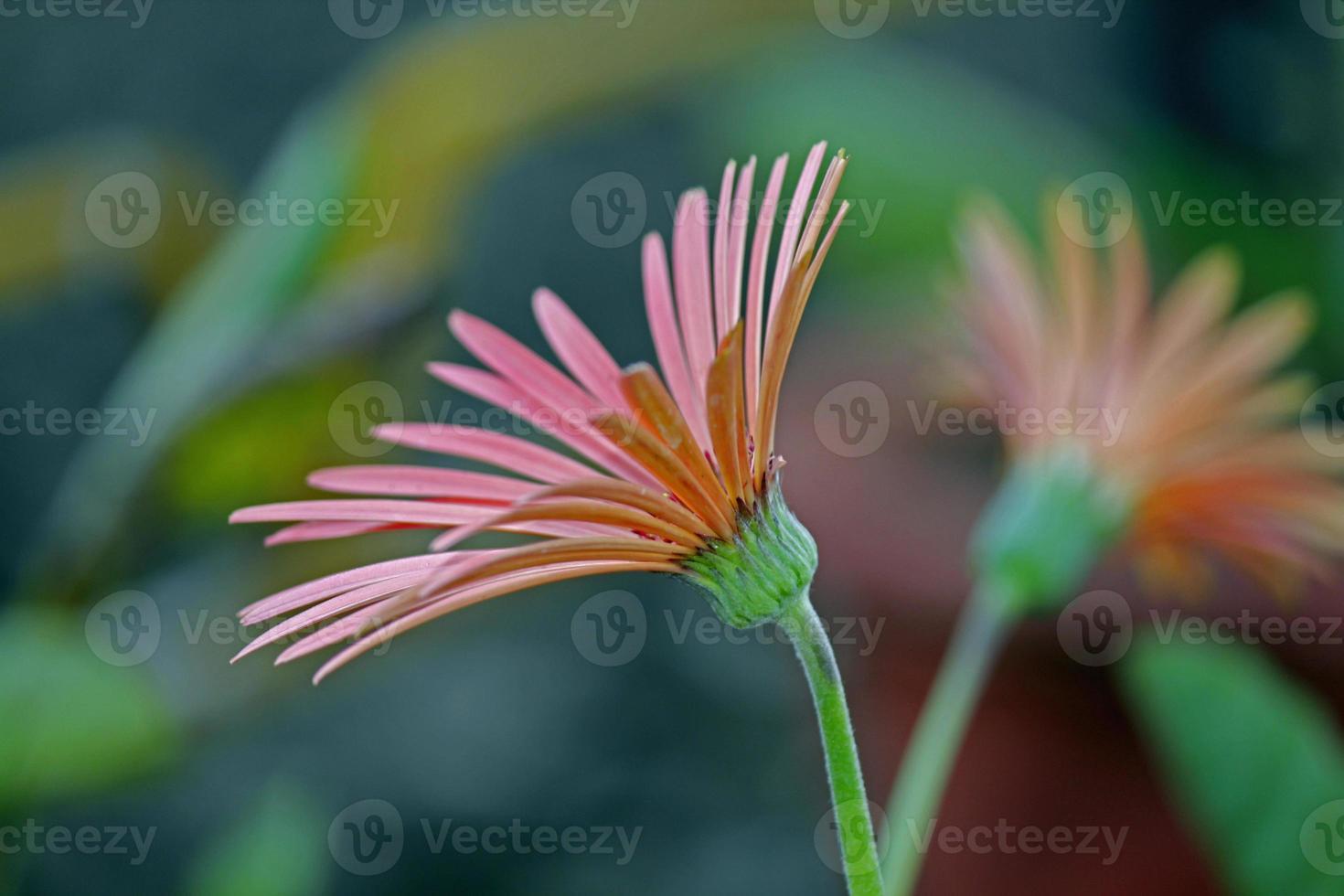 swan river daisy, brachycome lberidifolia foto