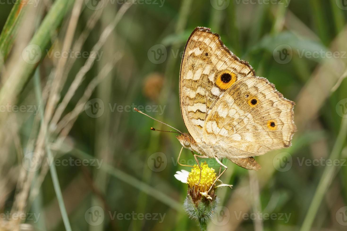 viooltje pauw vlinder op bloem foto