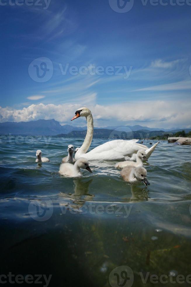schwan mit seinen kindern foto