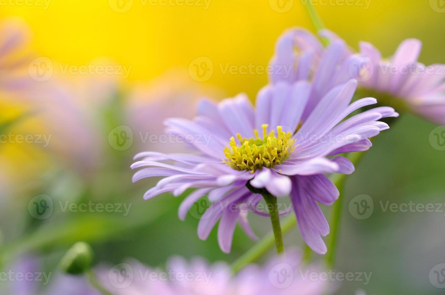 zwaan rivier daisy foto