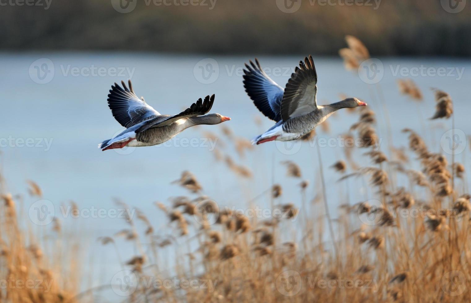 grijze ganzen tijdens de vlucht foto