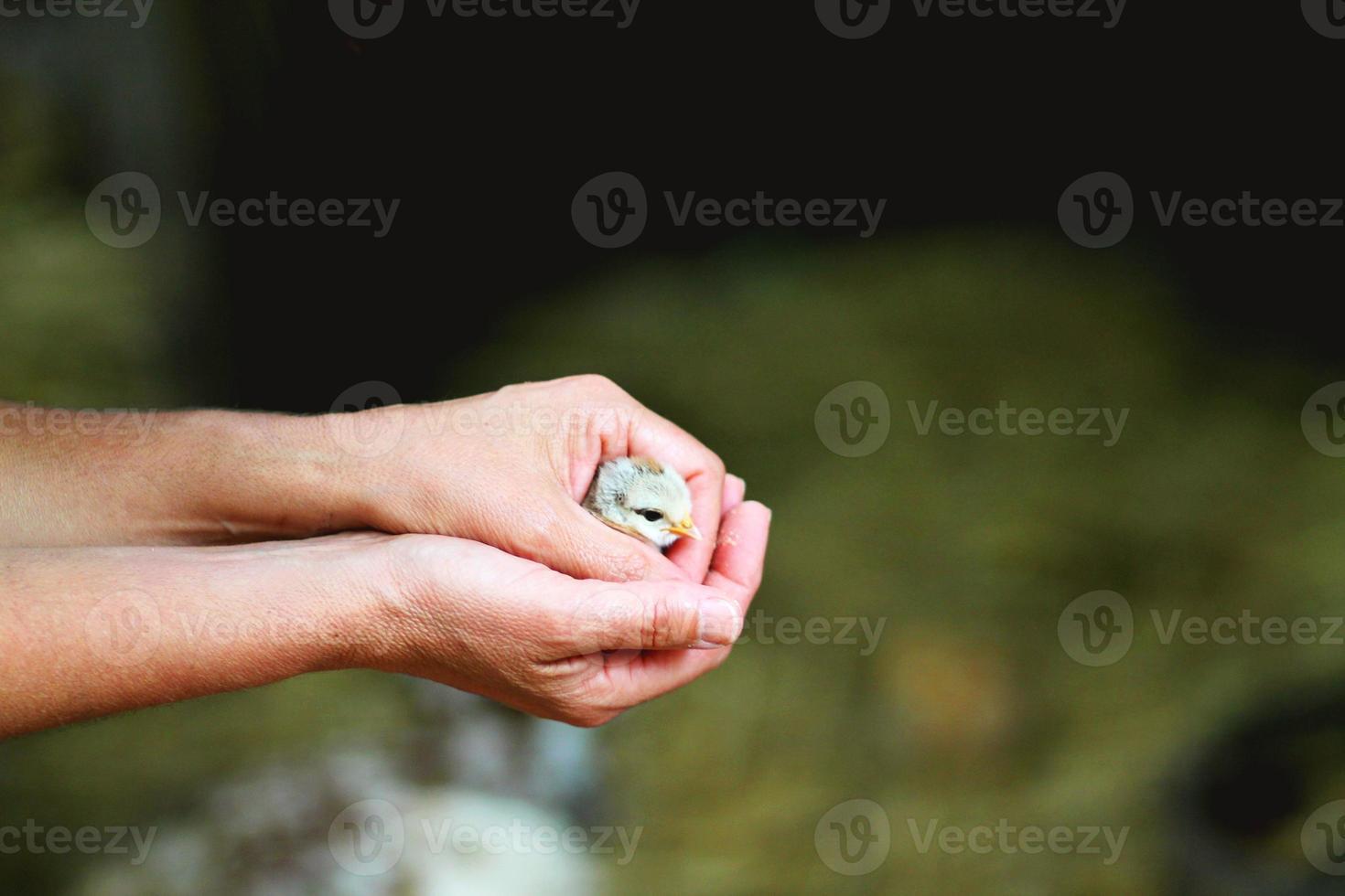 polluelo en mano foto