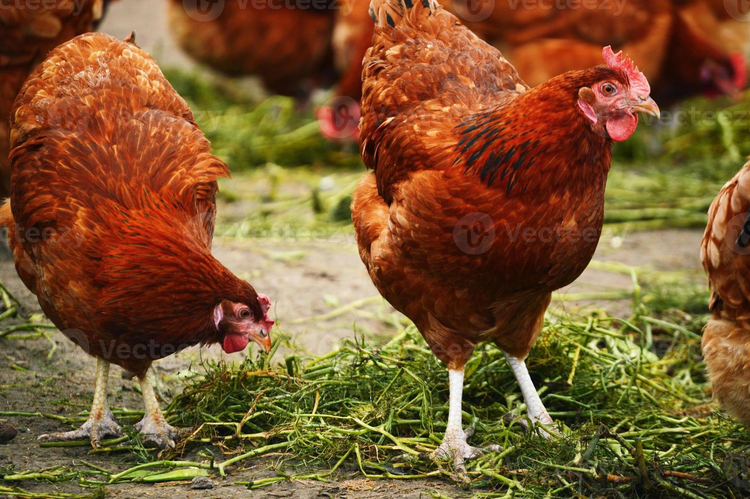 kippen op traditionele pluimveebedrijf met vrije uitloop foto