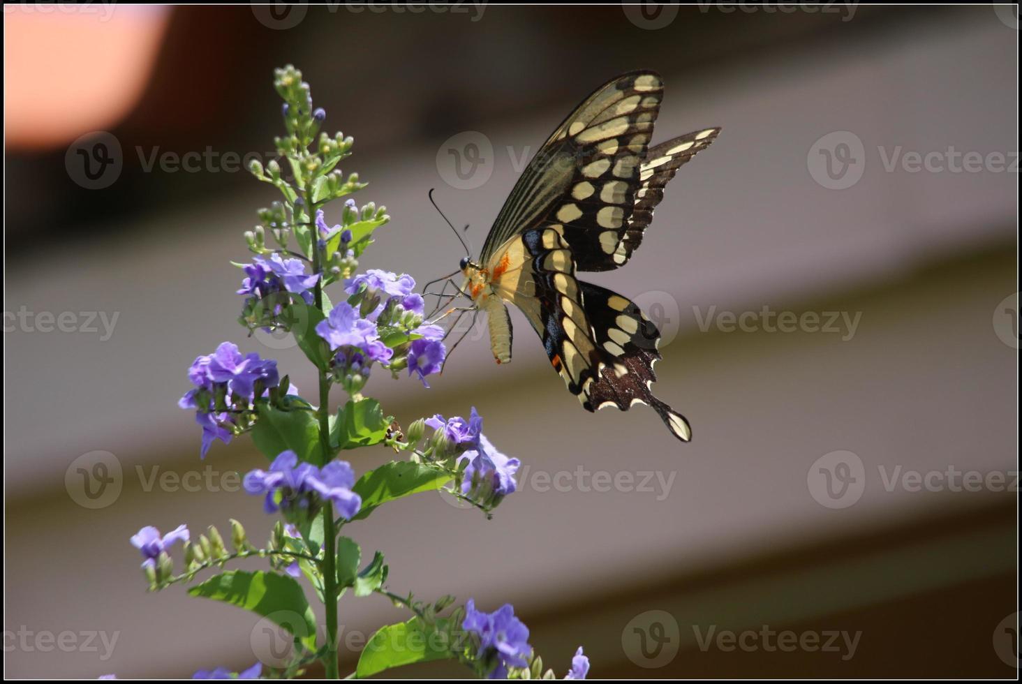 de gigantische zwaluwstaart is een zwaluwstaartvlinder foto