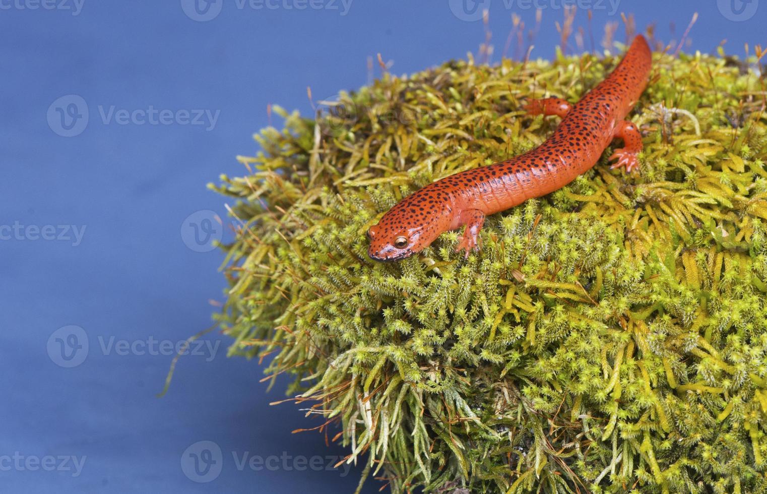 zwarte lippen salamander zittend op een met mos bedekte rots. foto