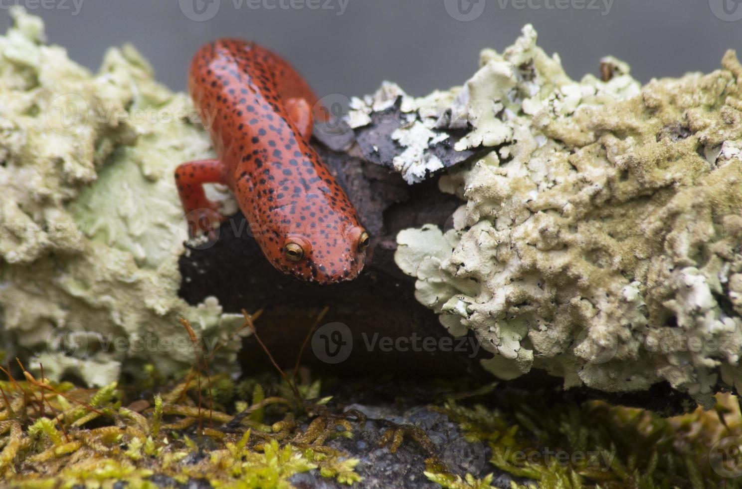 salamander met zwarte lippen kruipt tussen mosvlekken. foto
