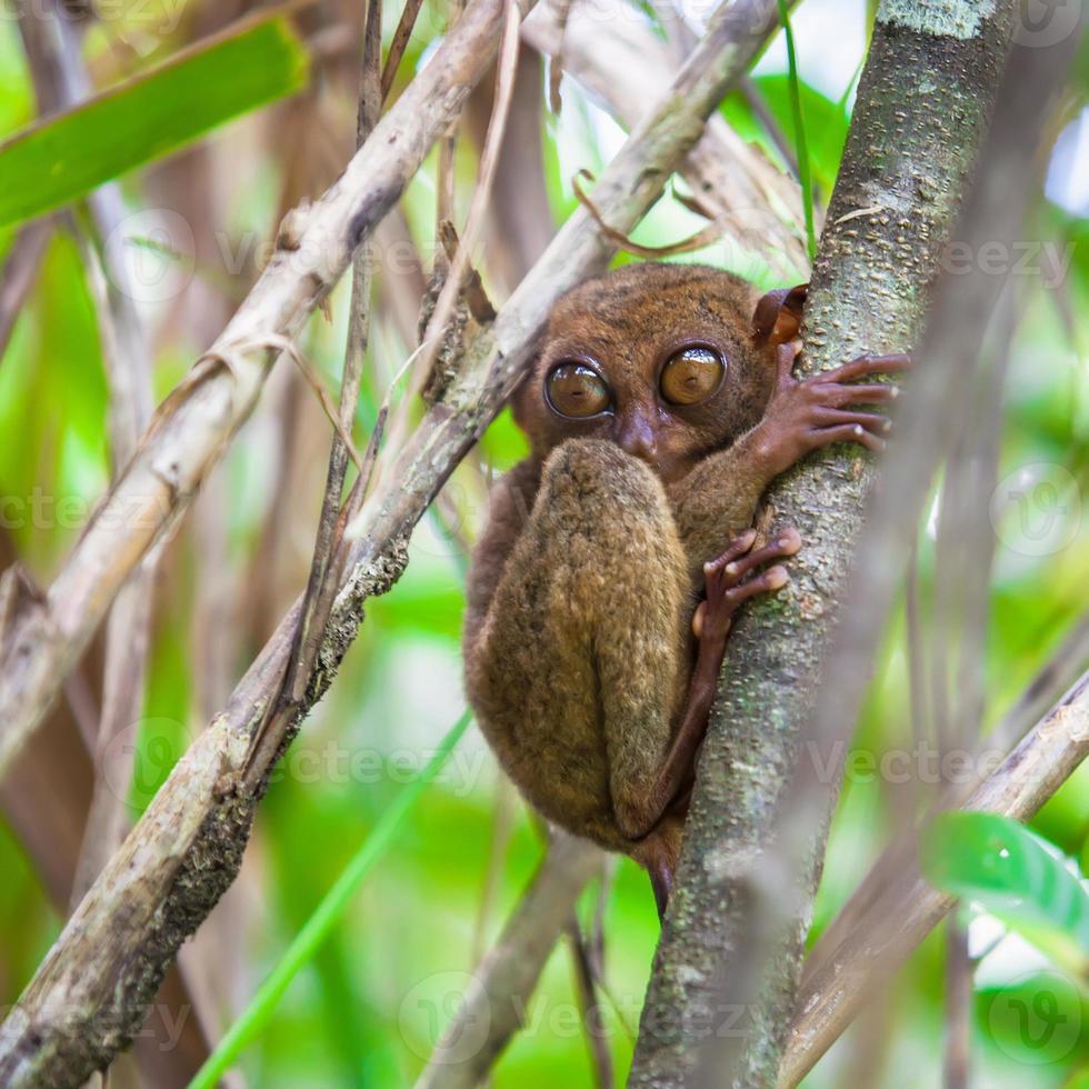 kleine schattige spookdiertje op de boom in de natuurlijke omgeving foto