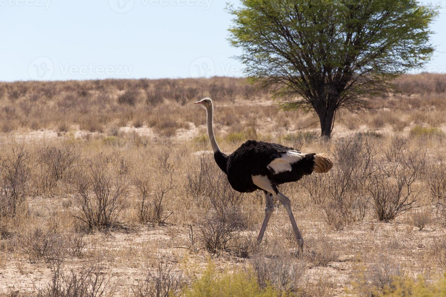 struisvogel struthio camelus, in kgalagadi, Zuid-Afrika foto