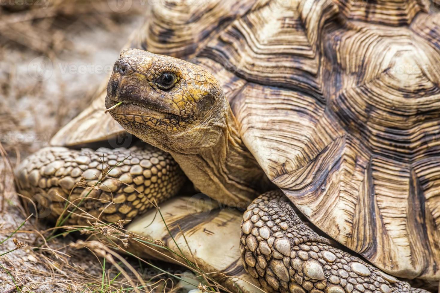 aldabra-reuzenschildpad (aldabrachelys gigantea) foto