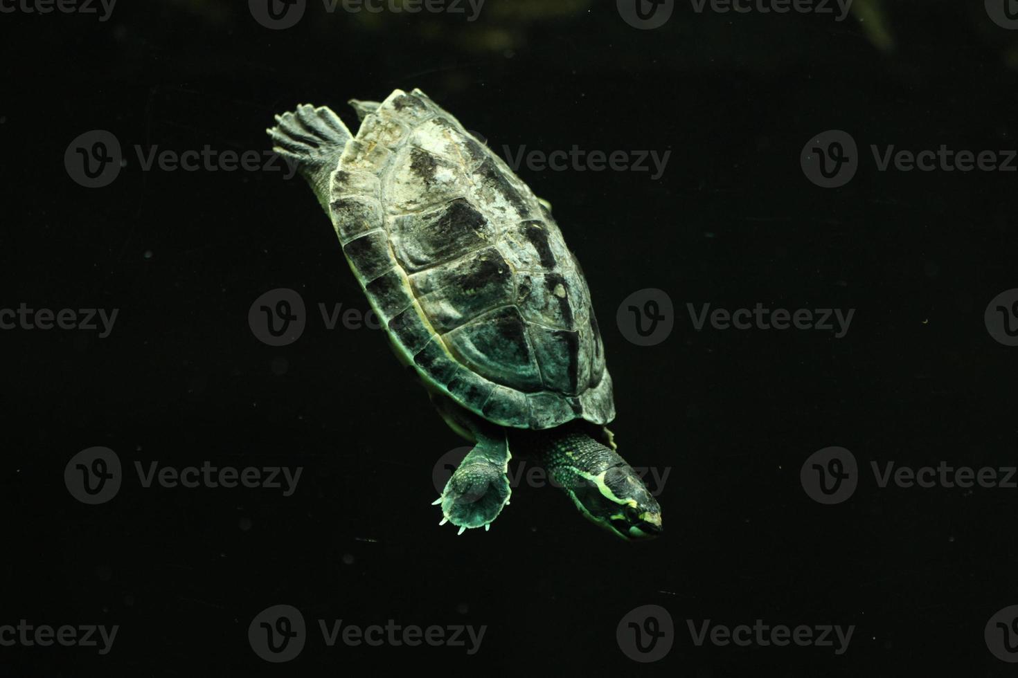 gekroonde rivier schildpad (hardella thurjii) foto