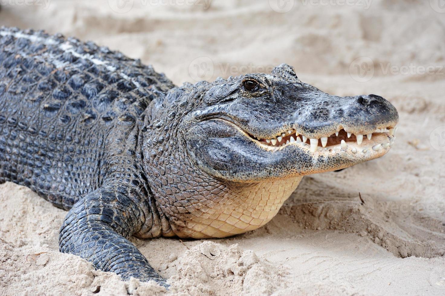 alligator close-up op zand foto