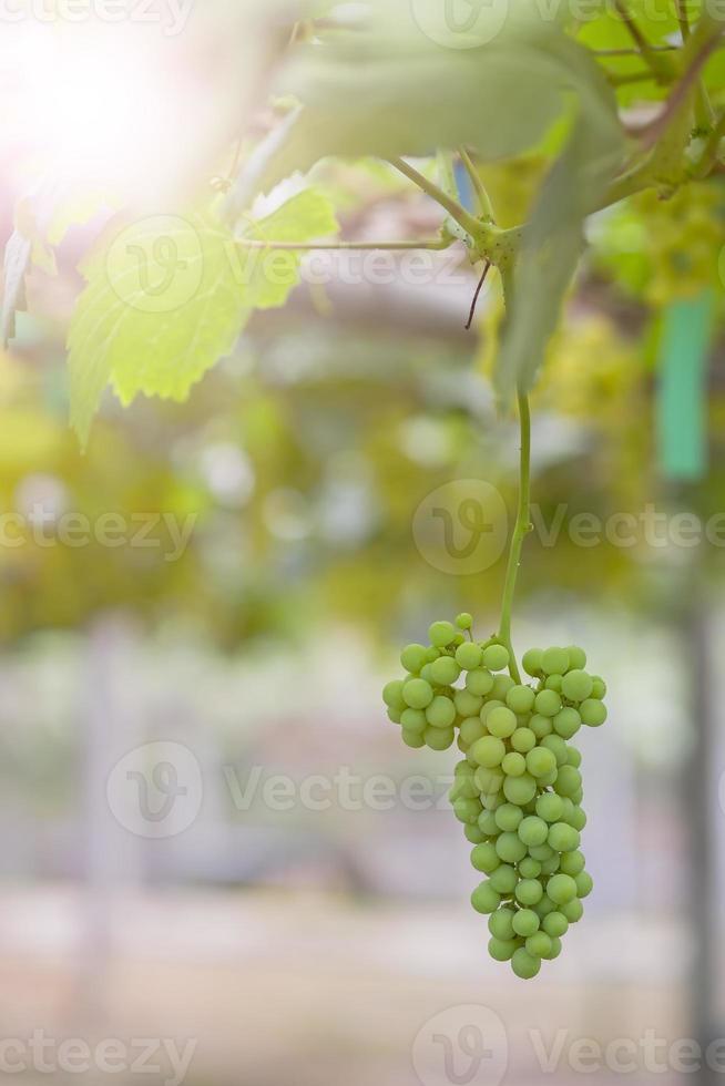 jonge groene druiven op wijngaard tak, Thailand. foto