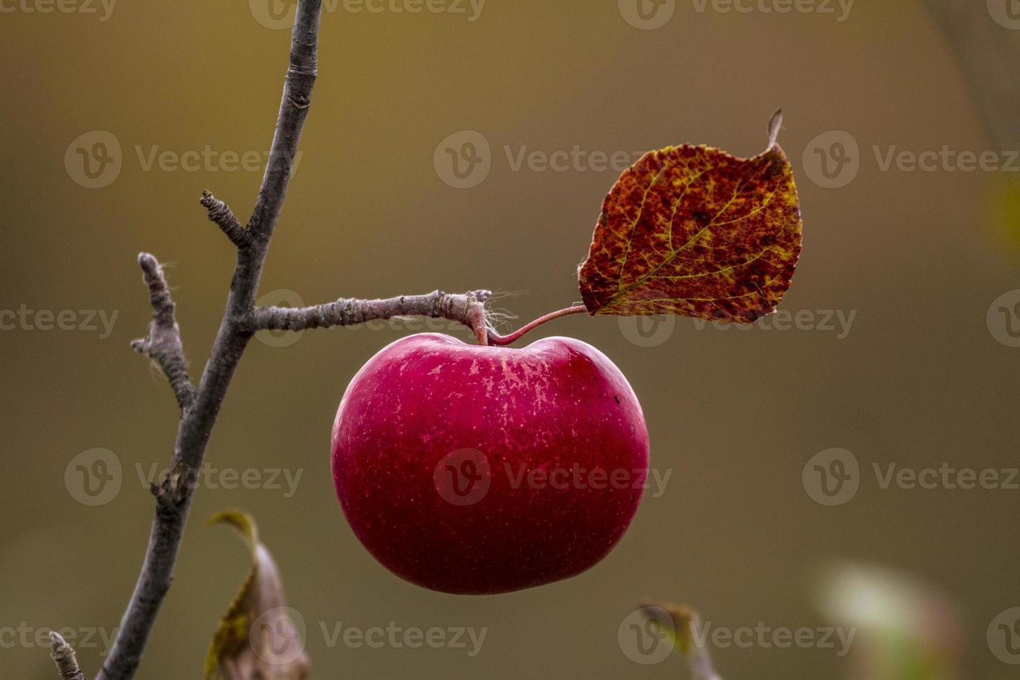 appel in de herfst foto