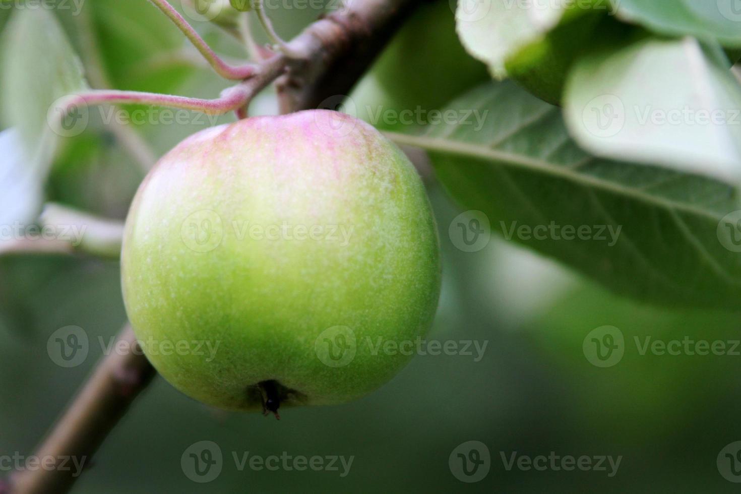 groene appel in een boom foto
