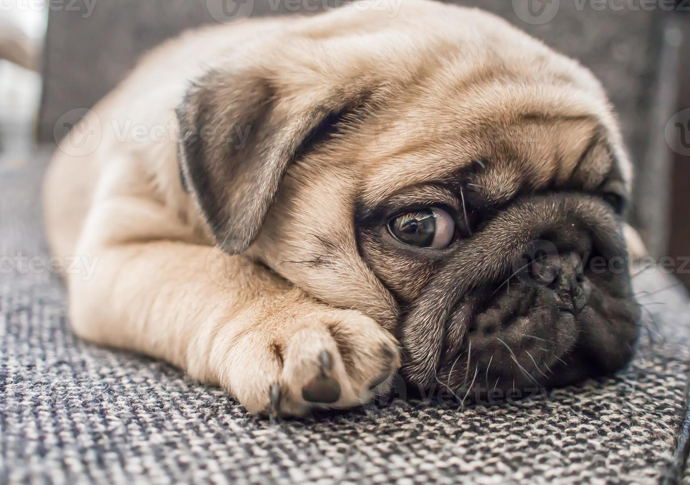 puppy pug hond foto