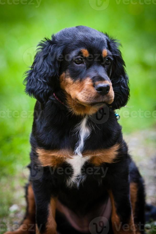gordon setter puppy met zwarte, witte en bruine vacht foto