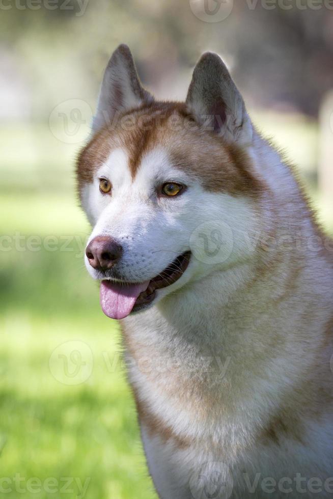 Siberische husky hond foto