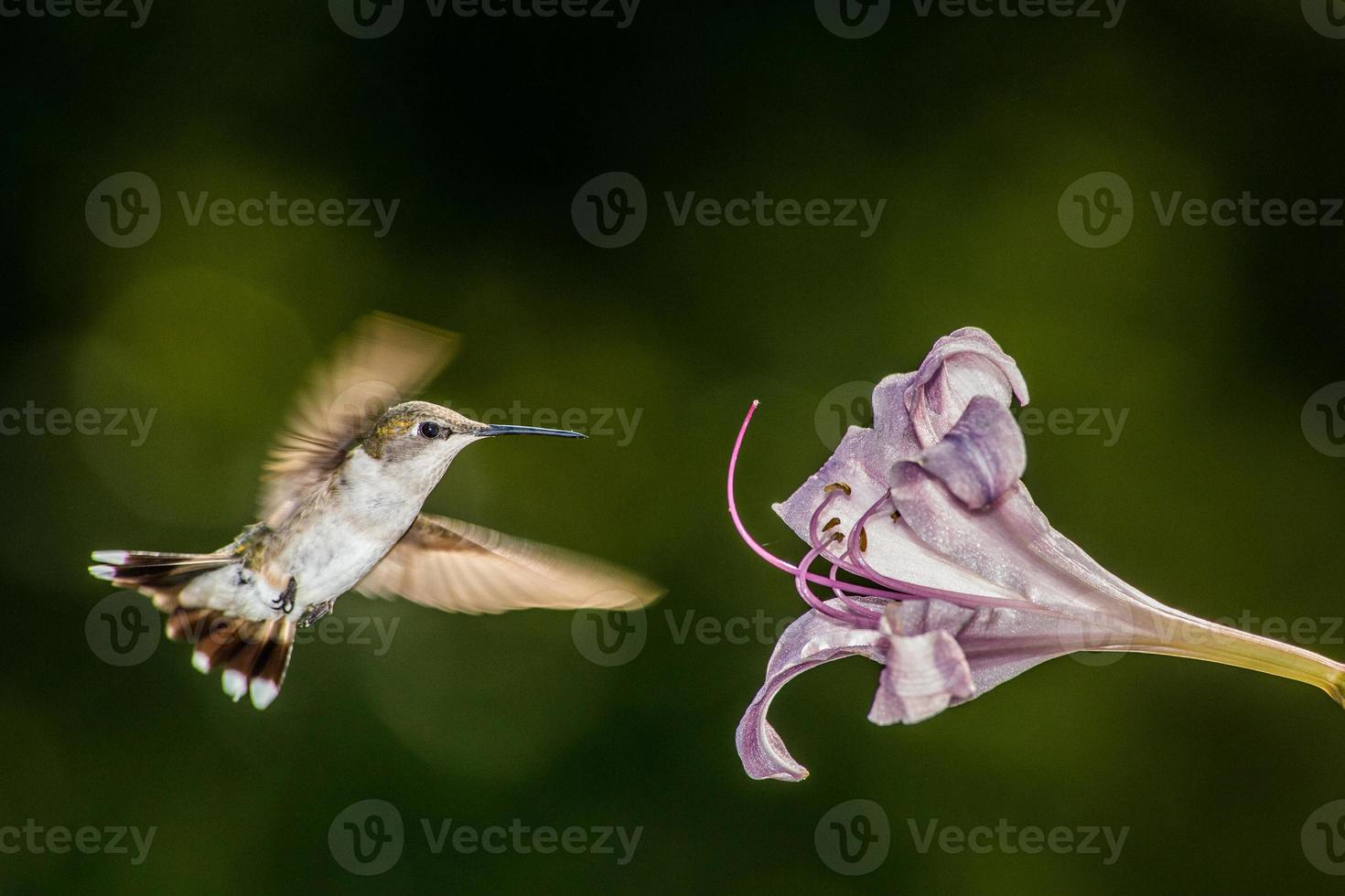 hummingbrid foto