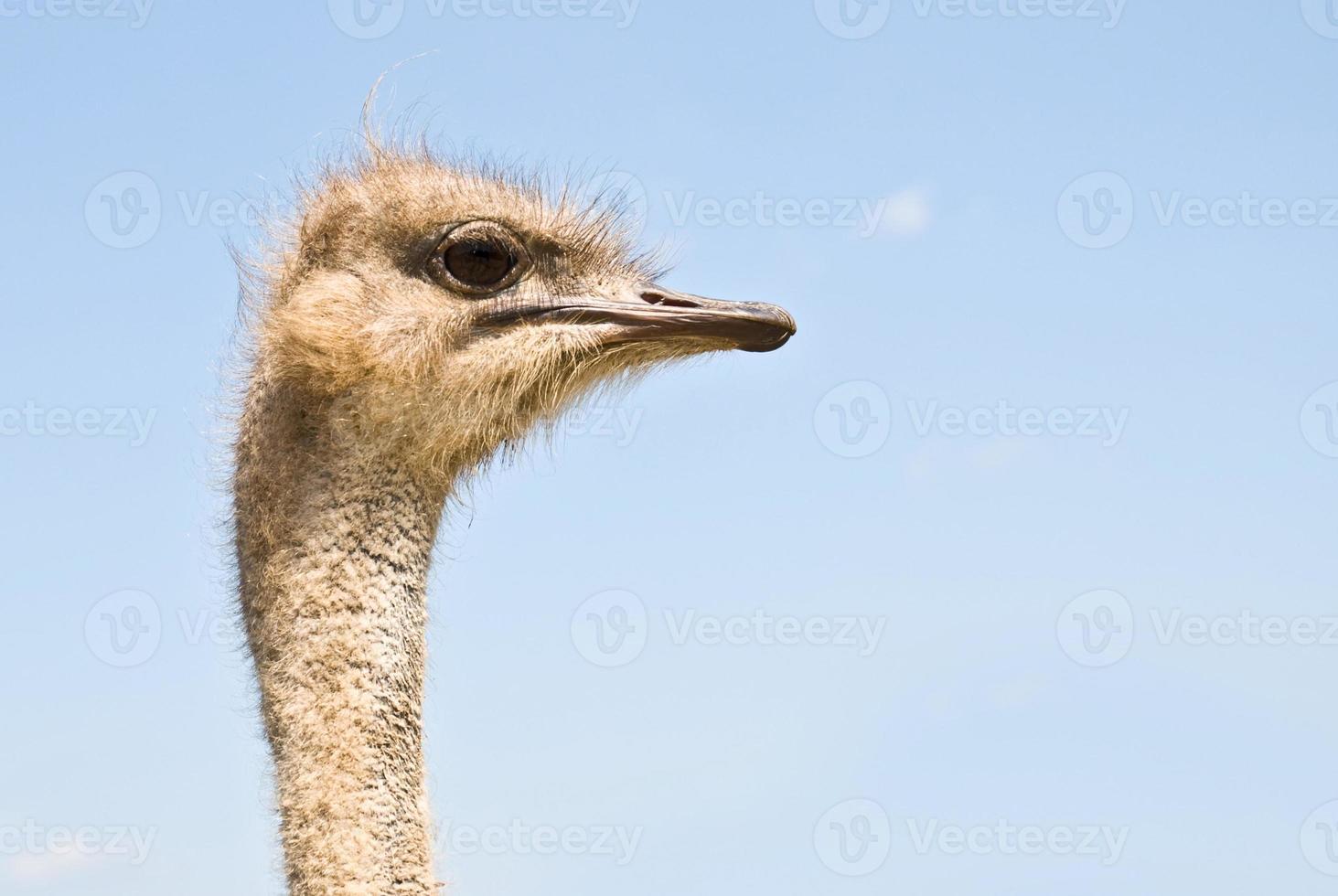 profiel van struisvogel foto