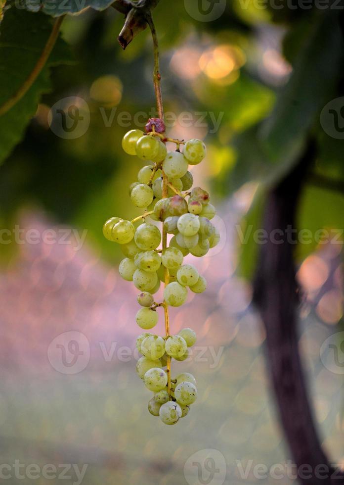 rijpe druif op een ochtendlicht foto