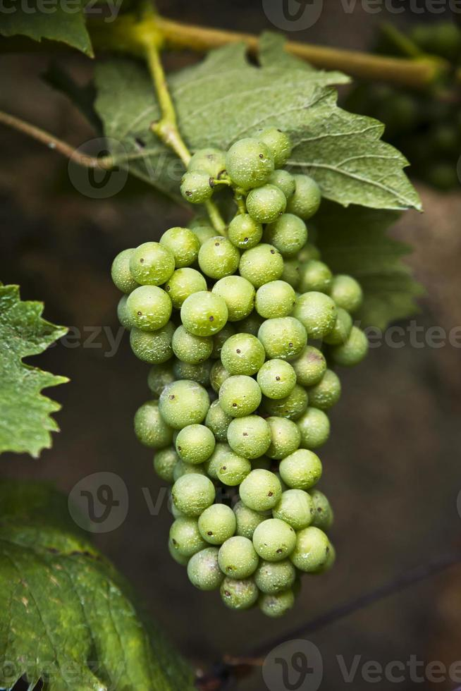 druif besproeid met pesticiden foto