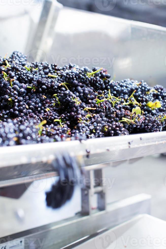 druiven gaan in stamper-maalmachine foto