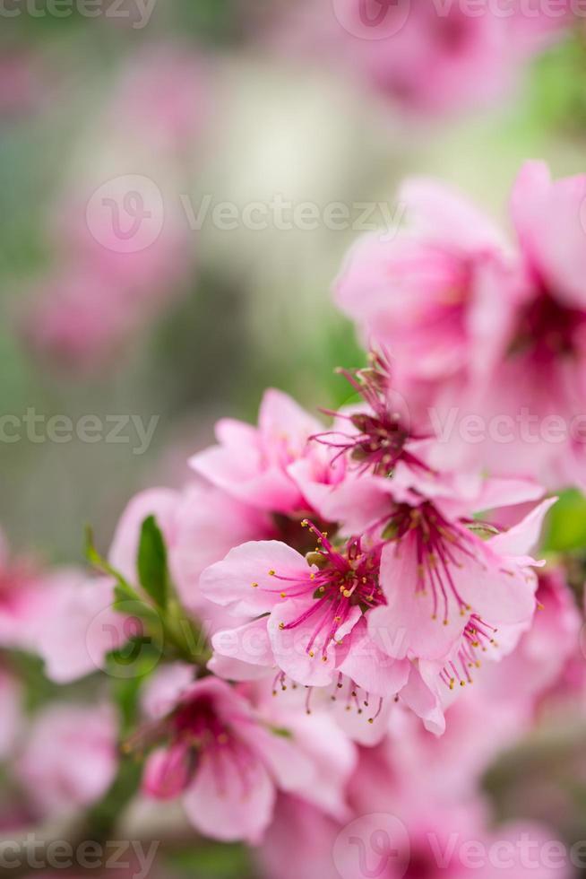 bloeiende boomtak in het voorjaar met blured achtergrond foto