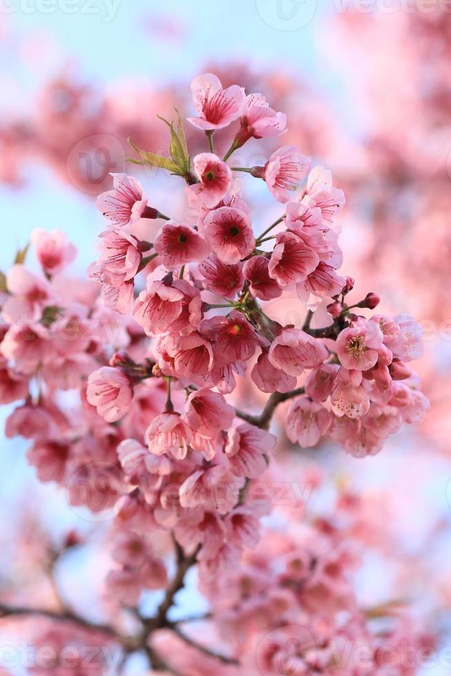 bloesem van sakura foto