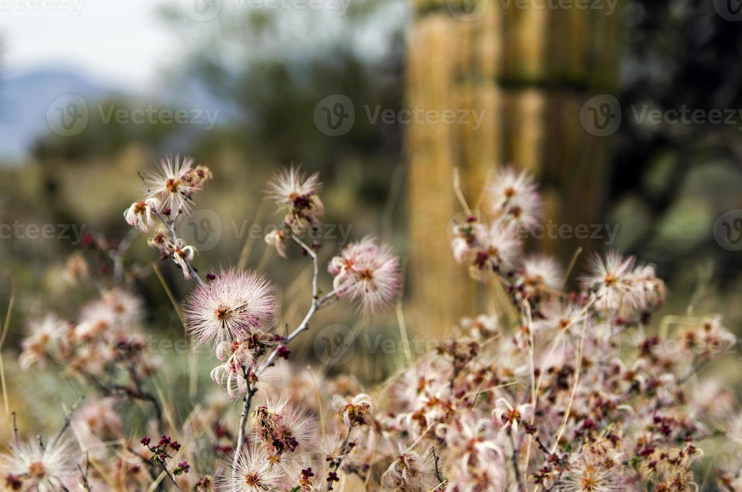 wilde bloemen in het nationaal park saguaro, tucson, arizona foto