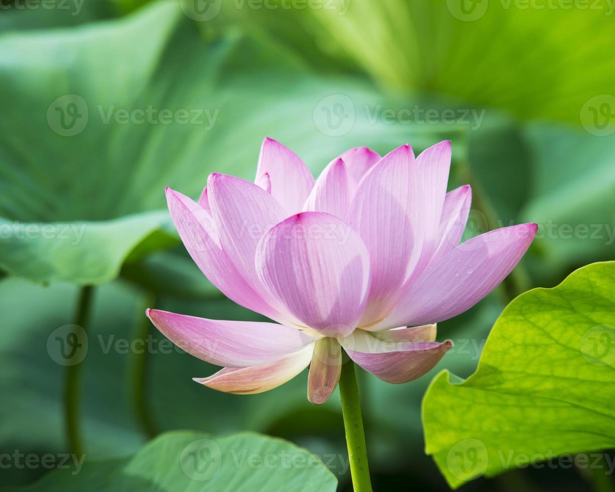 zomer bloeiende lotus foto
