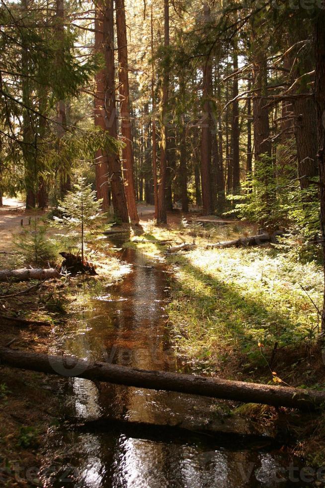 sunlt stroom die door pijnbomen stroomt foto