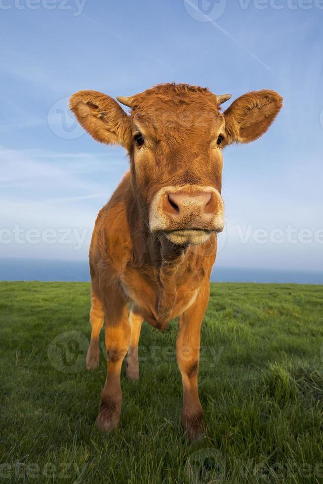verticaal portret van bruine koe foto