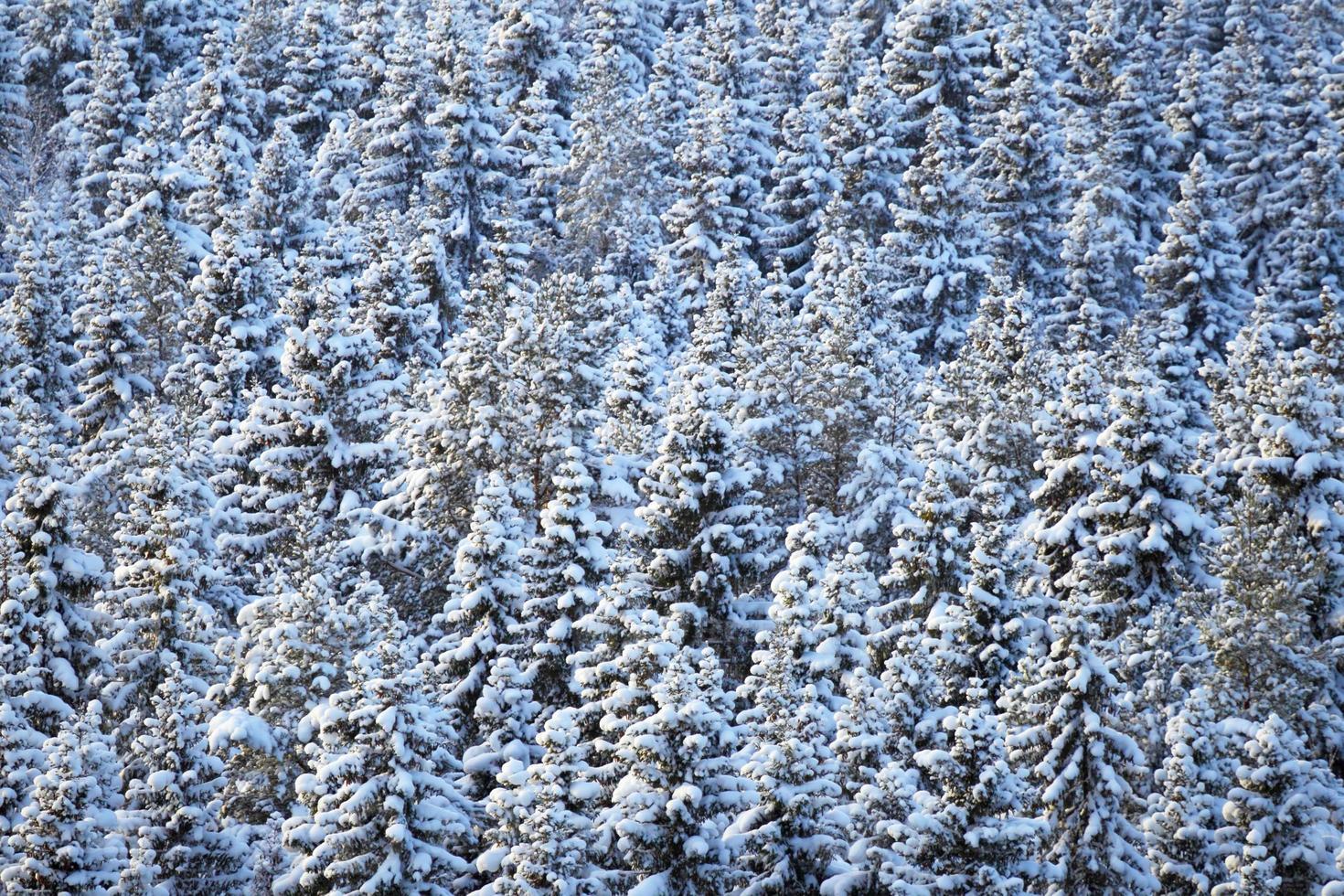 winter naaldbos foto