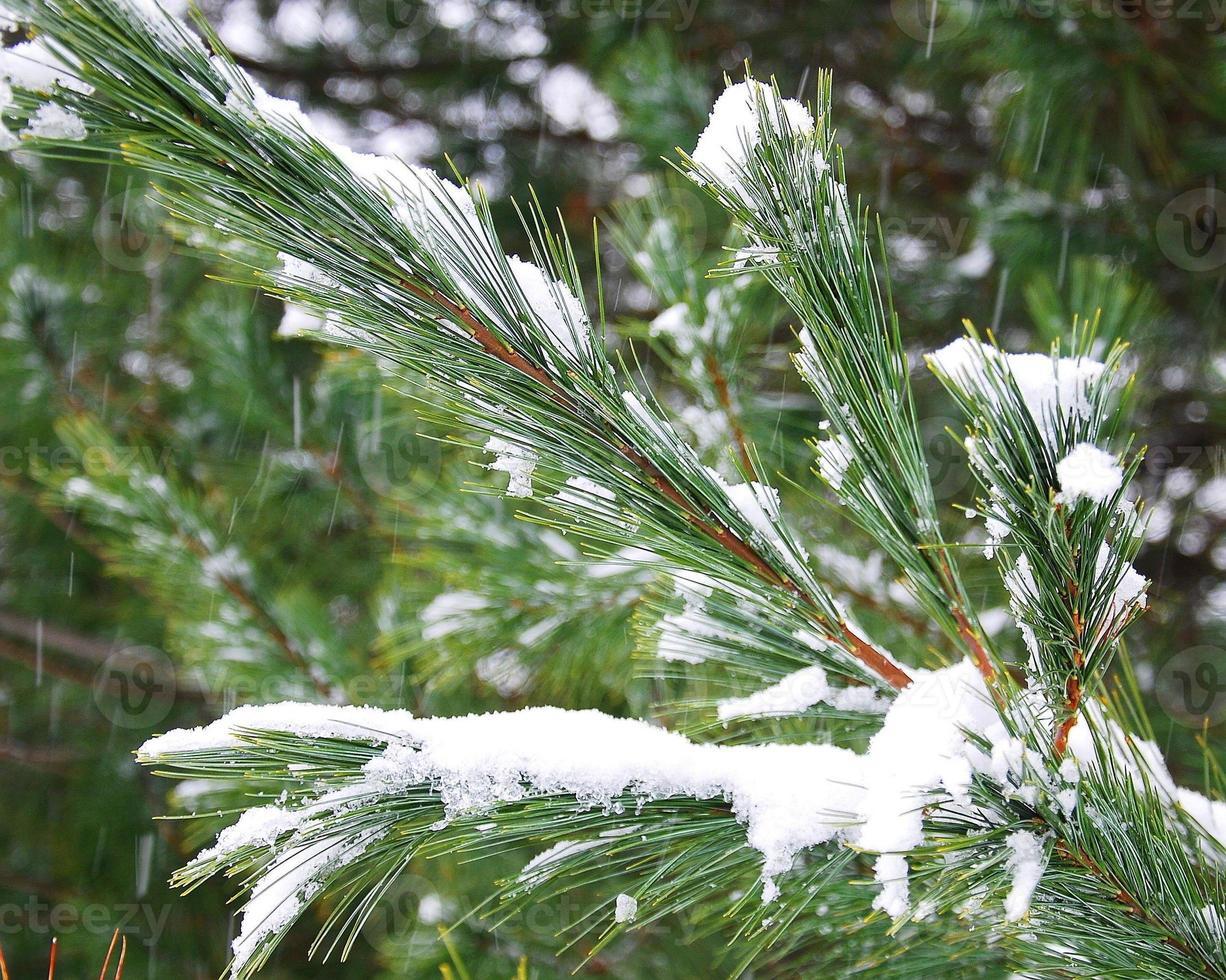 winter pijnboomtakken foto